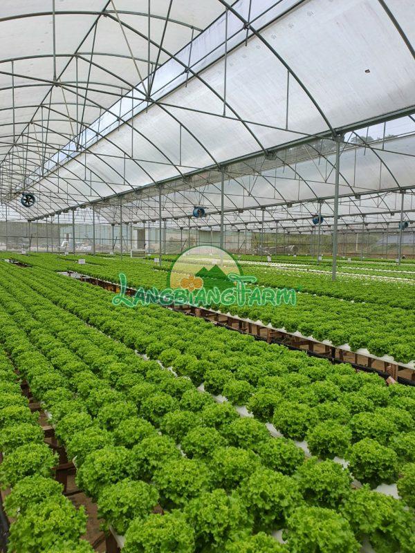 Rau thuy canh Langbiang Farm