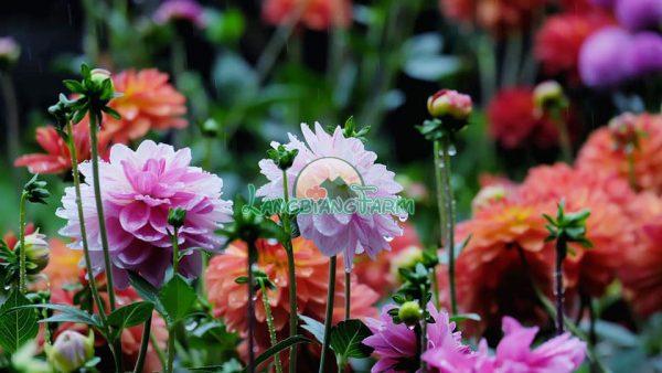 Hoa thuoc duoc chau Langbiang Farm
