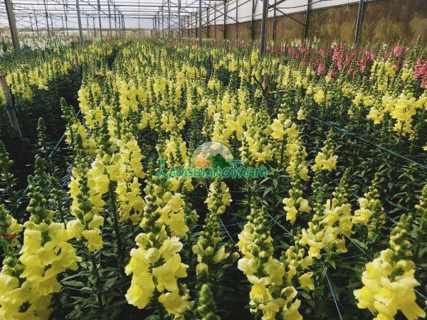 Hoa mom soi Langbiang Farm