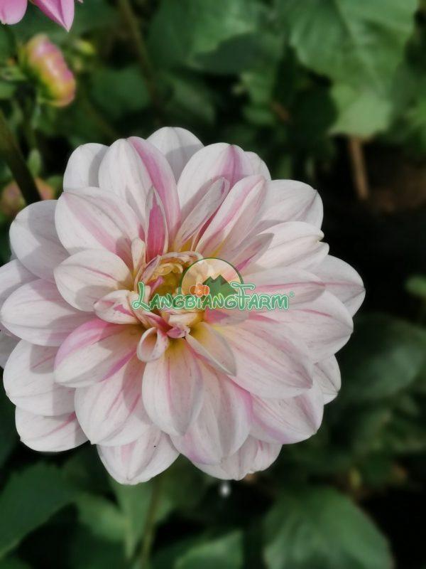Hoa thuoc duoc Langbiang Farm