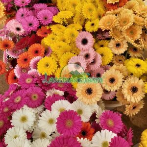 Hoa dong tien nhi Langbiang Farm