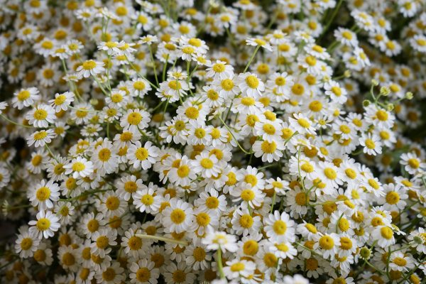 Hoa cuc Tana