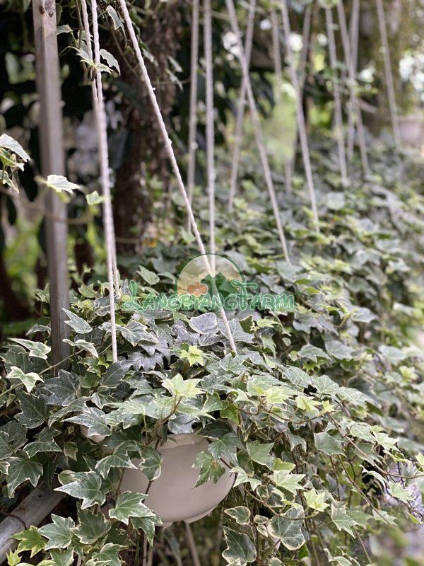La Nguyet Que Langbiang Farm