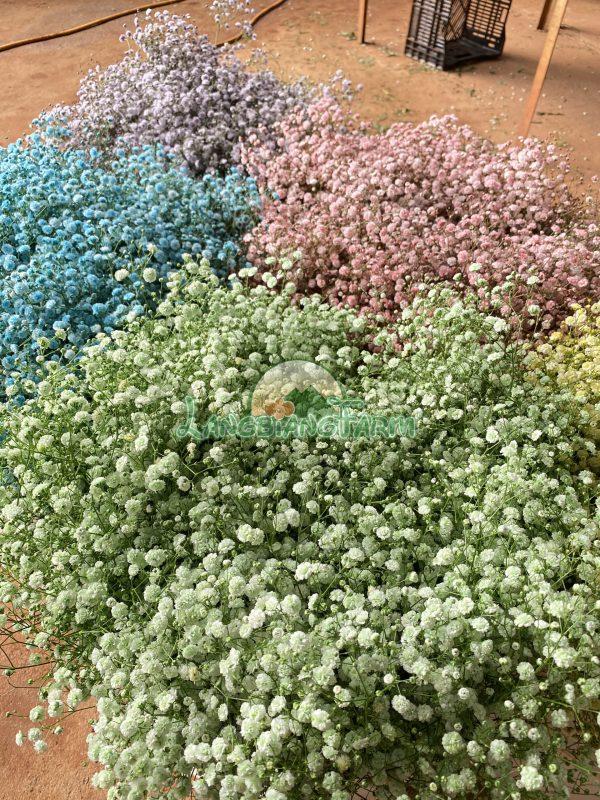 Hoa baby mau Langbiang Farm